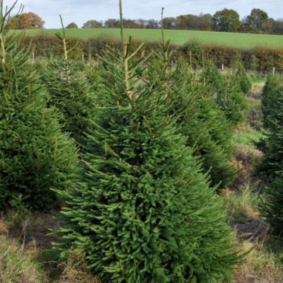 buy norway spruce christmas trees online send me a christmas tree - Real Christmas Trees For Sale