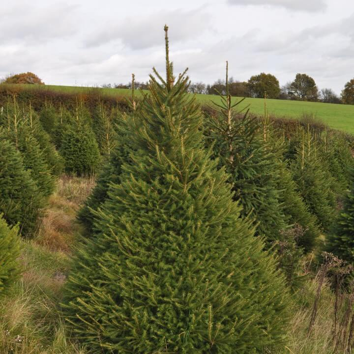 norway spruce - Christmas Trees For Sale Near Me