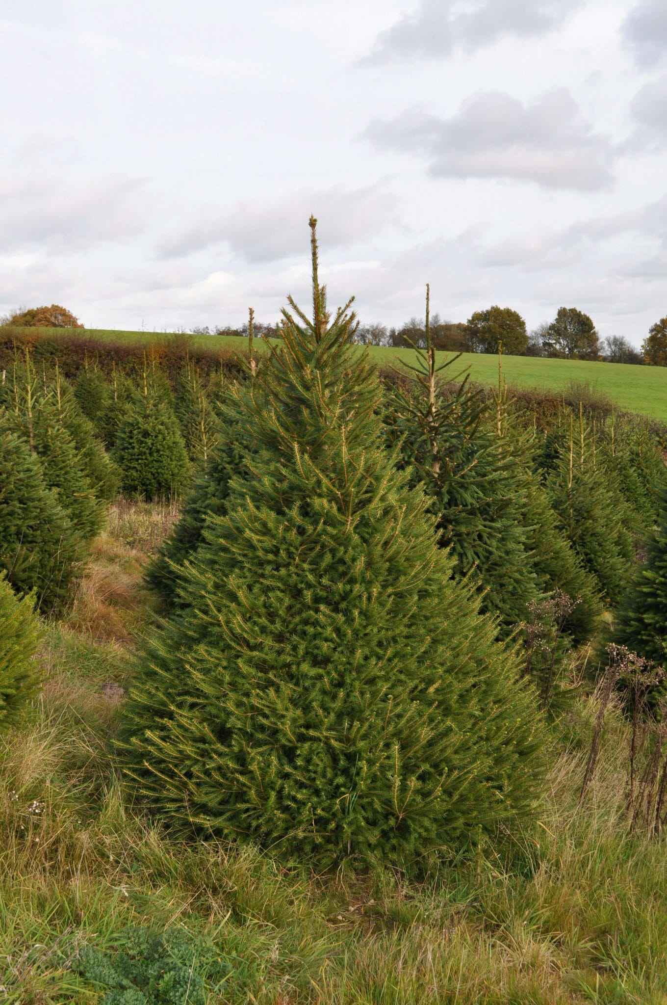 Christmas Trees For Sale Online