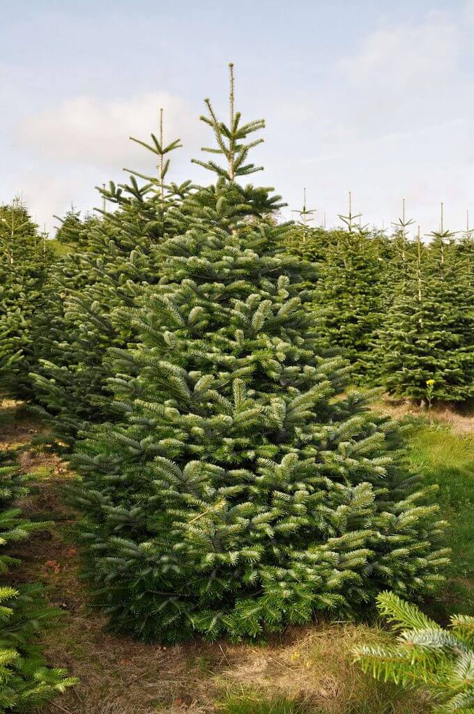 Buy Nordman Fir Christmas Trees Online - Send Me a Christmas Tree