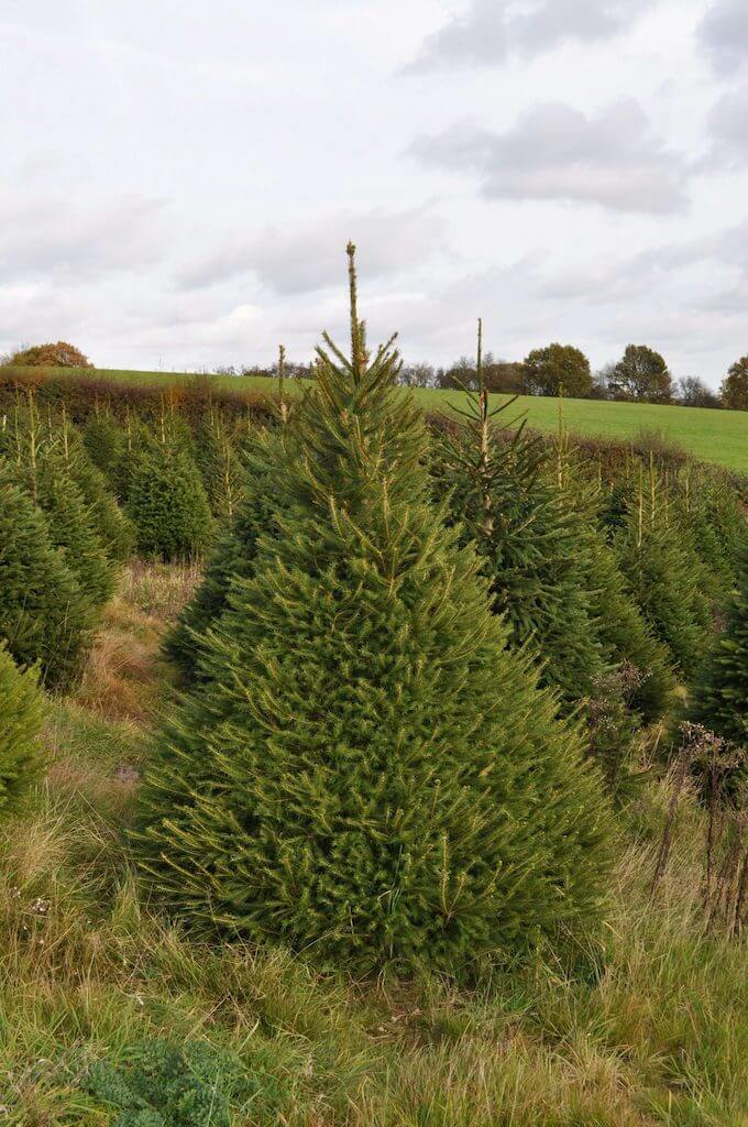 Fresh Cut Norway Spruce For Sale