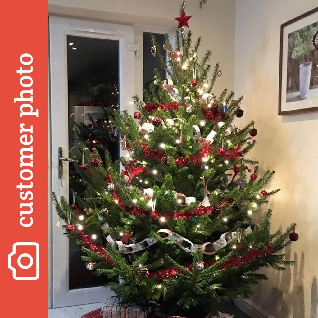 Canaan Fir Christmas Trees For