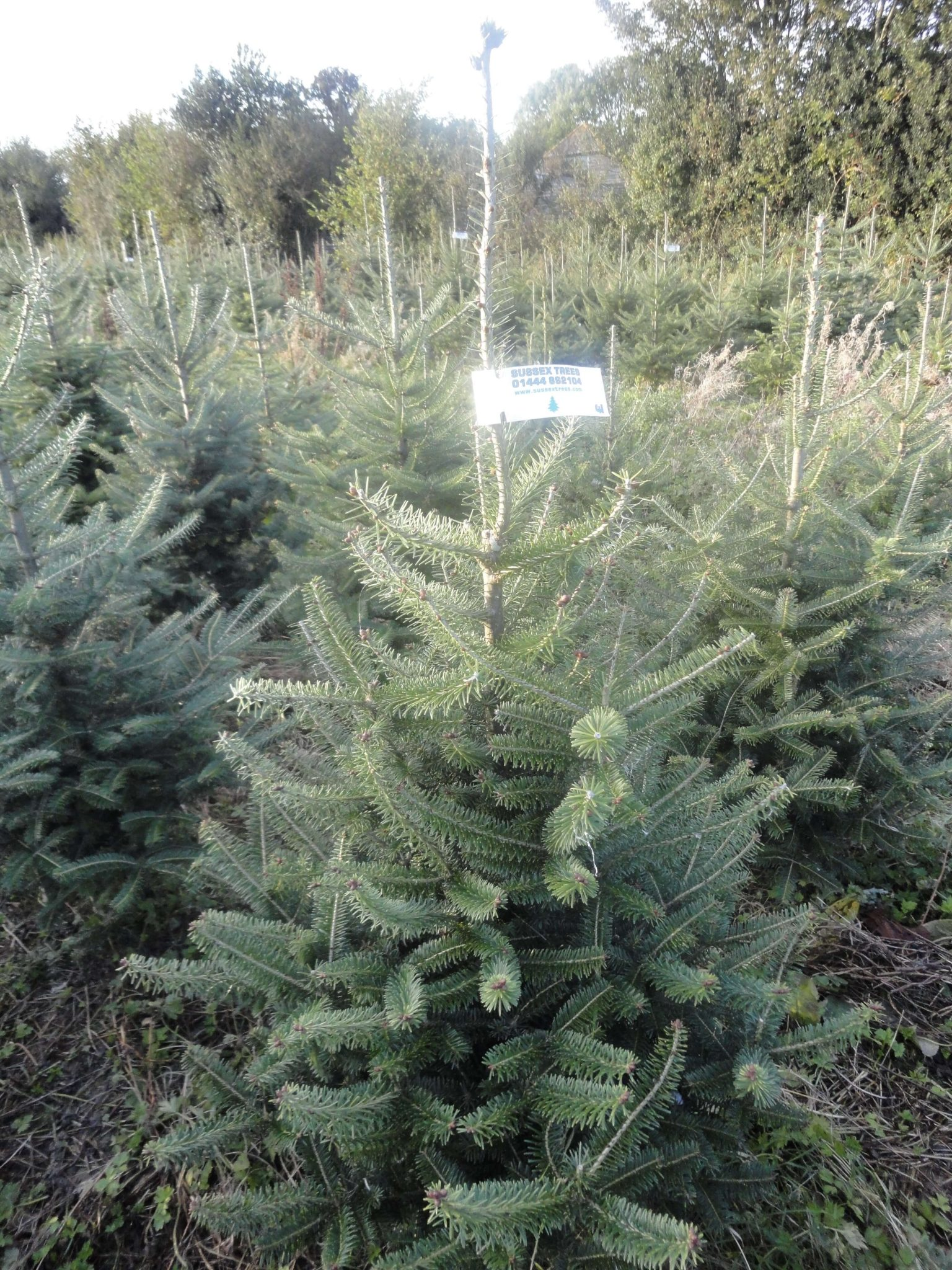 Canaan Fir Christmas Trees For Sale