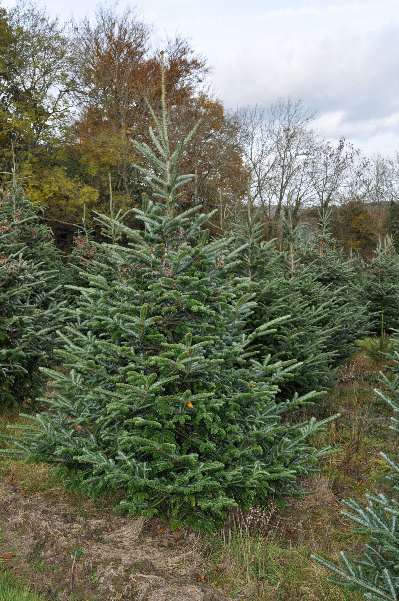 Everlands Kingswood Fir Christmas Tree Minikeyword Com