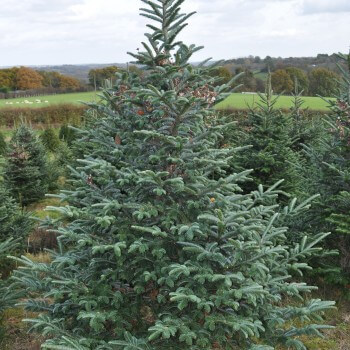 Order a Christmas Tree Online, Free Delivery - Send Me a Christmas ...