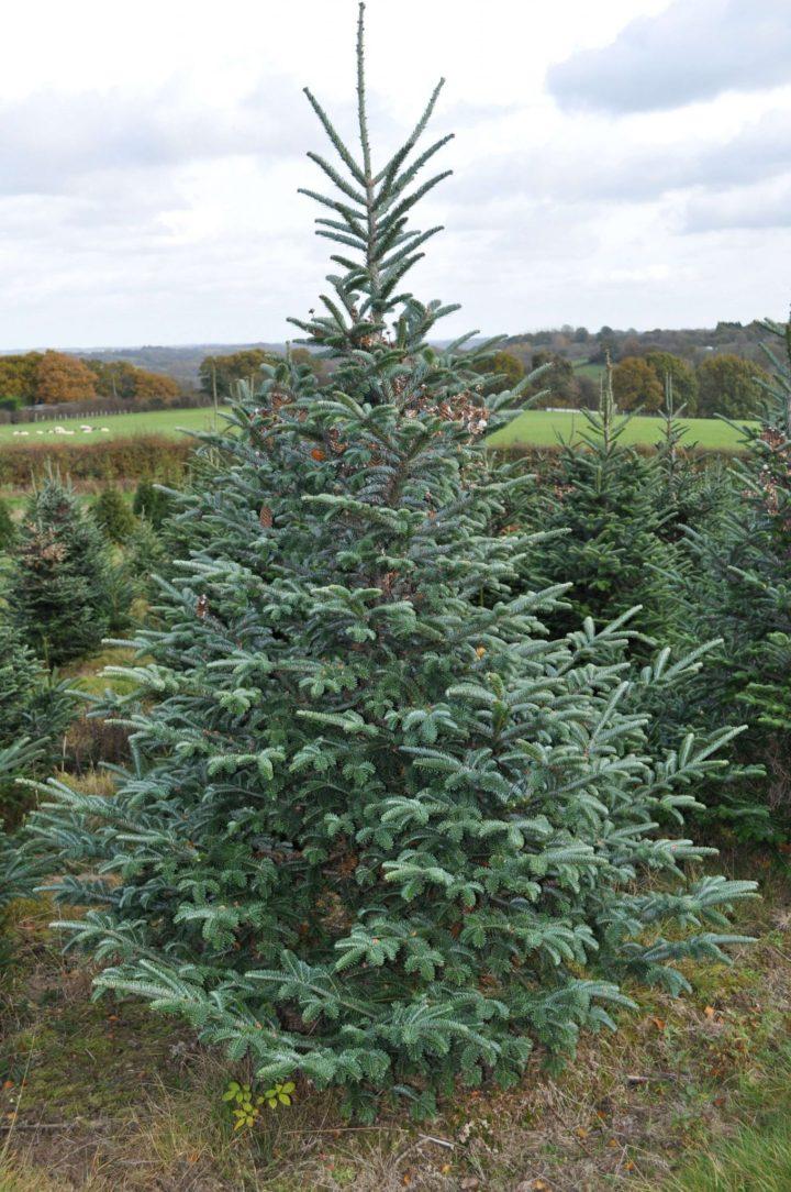 Fraser Fir Christmas Trees for sale
