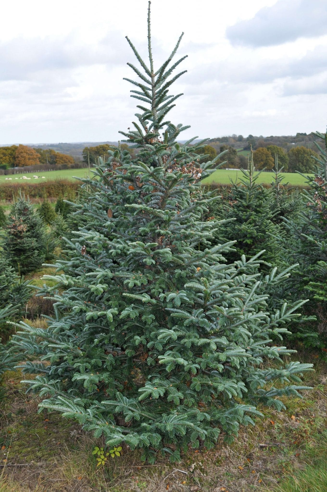 Tall Christmas Trees