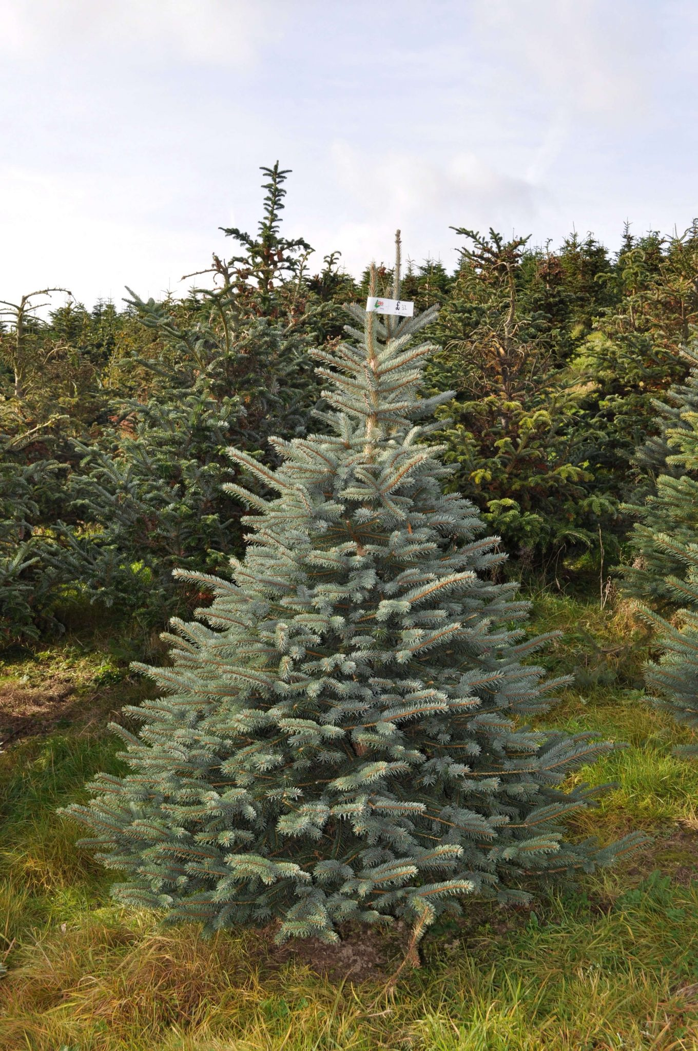 sendmeachristmastree | order a christmas tree online, free delivery