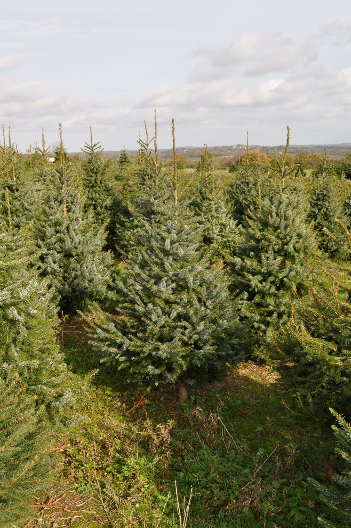 Blue Spruce Christmas Tree for sale