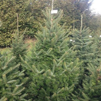 Sussex Fir