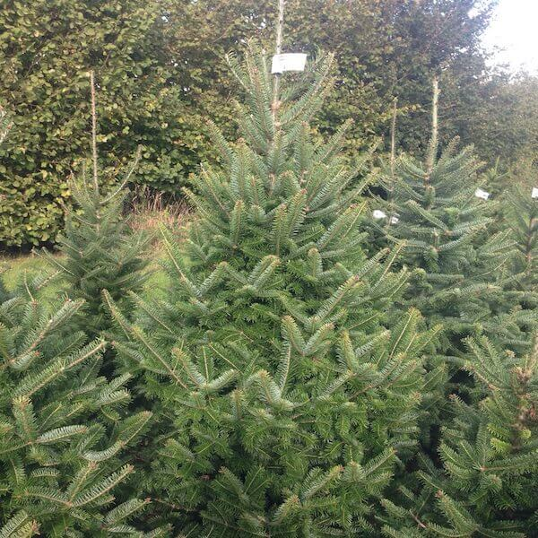 Sussex Fir, Canaan fir online