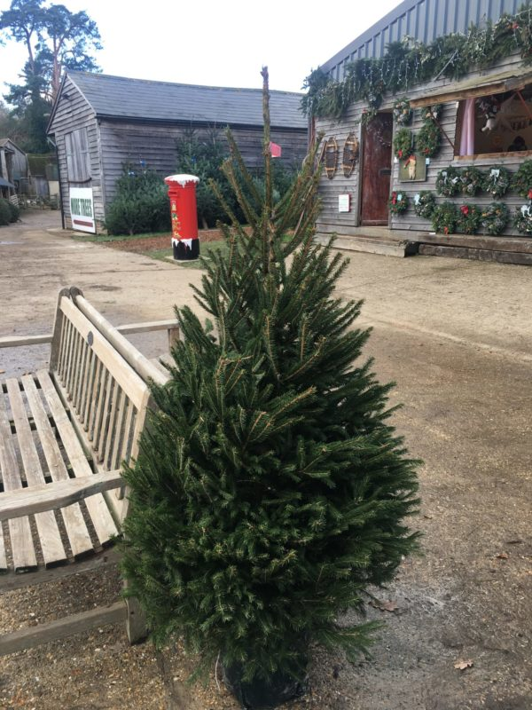 Pot-Grown Norway Spruce - Christmas Tree With Roots - Free Delivery