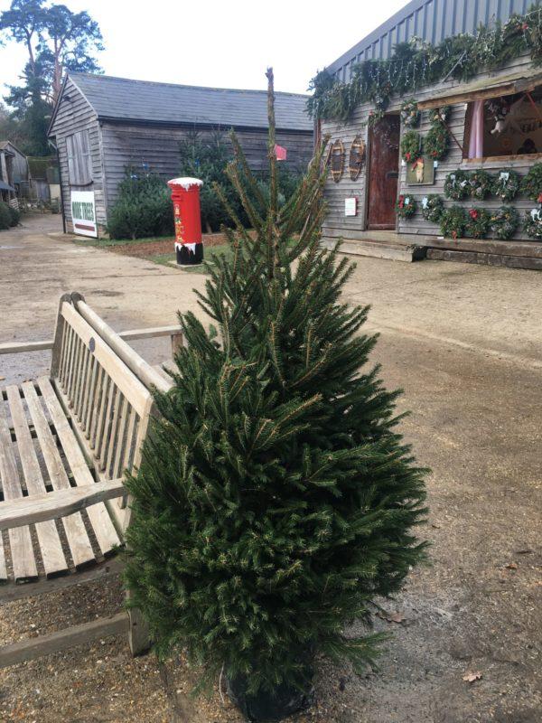 Pot-Grown Christmas Trees For Sale - Send Me a Christmas Tree
