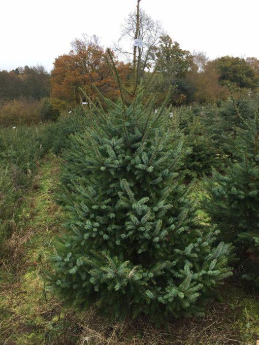 Serbian Spruce Christmas Tree