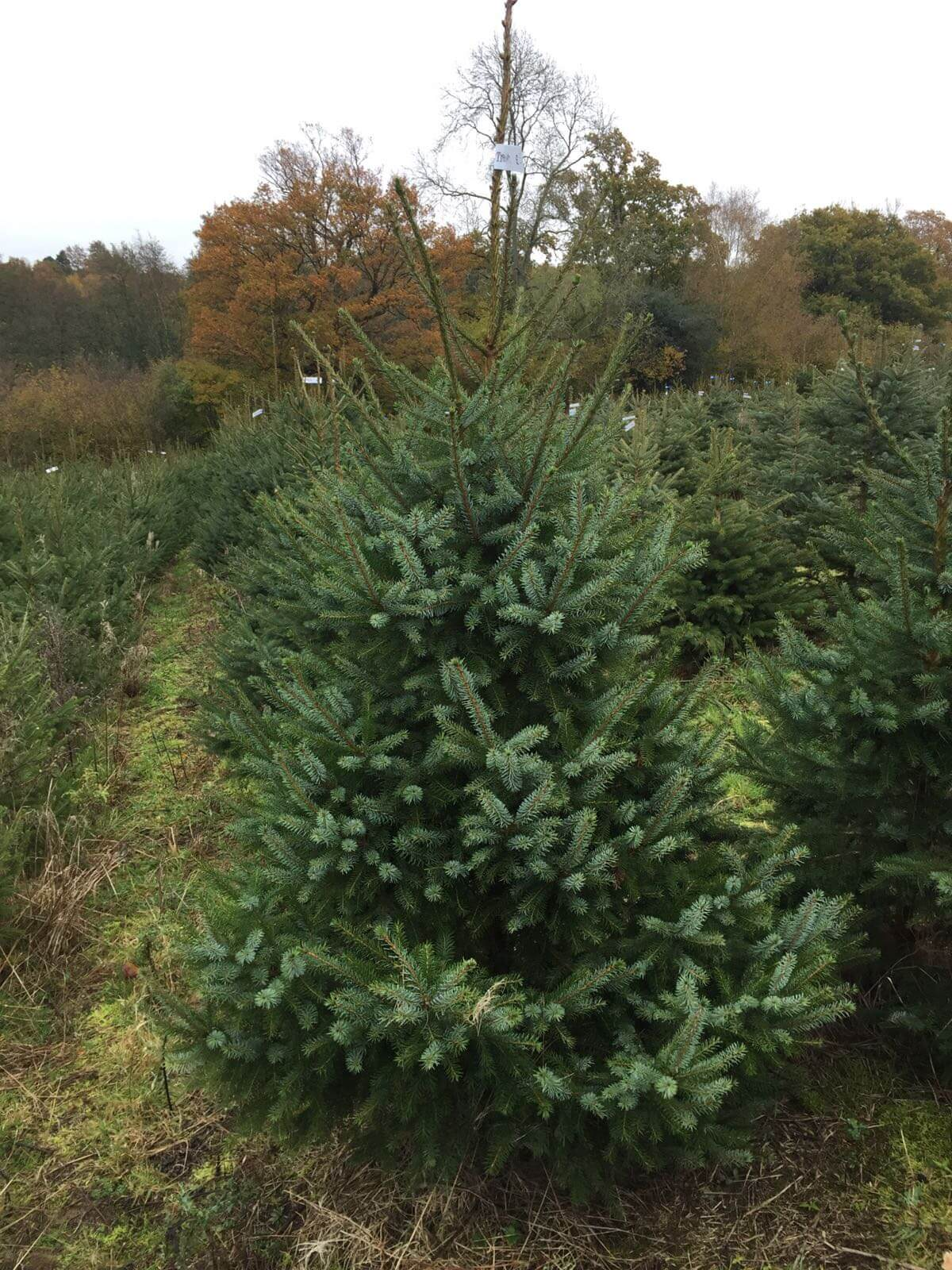 Serbian Spruce Christmas Tree