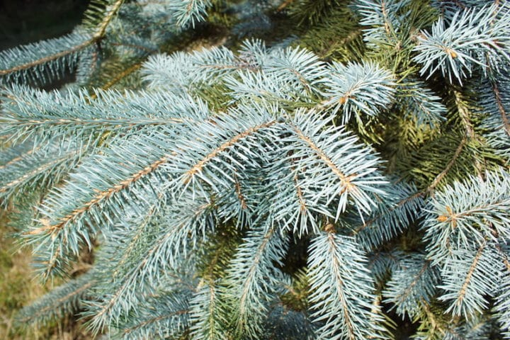 Blue Spruce Christmas tree needles