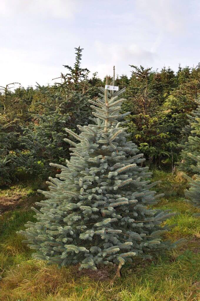 We Grow Majestic Blue Spruce Which Is A Pyramidal Shaped