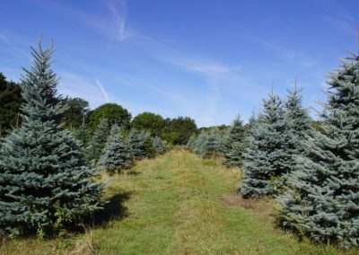 blue-spruce-field-summer
