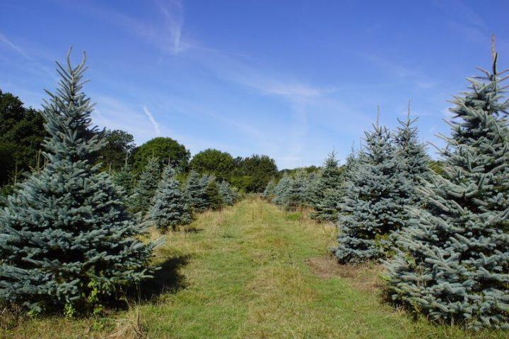 Blue Spruce growing in summer