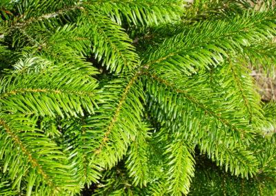 nordman-fir-needles
