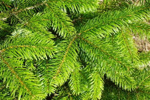 Nordman Fir soft needles