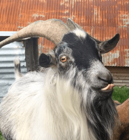 Reg the Goat(opus) Predicts England's World Cup Ties