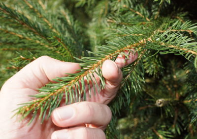 Norway Spruce needles close up