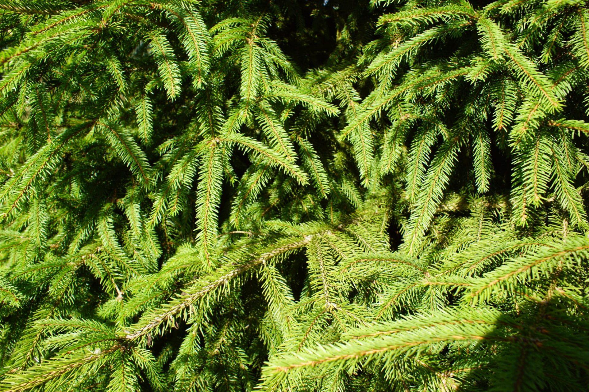 Norway Spruce foliage