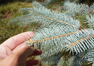 Blue-spruce-needles-close