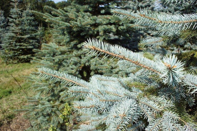 Blue-spruce-variegation