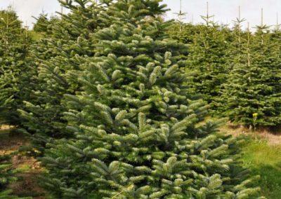 Nordman-Fir-Tree-Guide