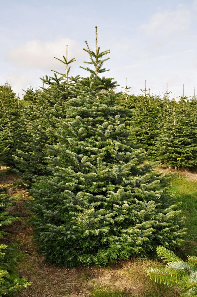 Nordman Fir Christmas tree guide