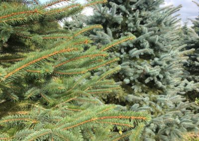blue-spruce-colour-variation