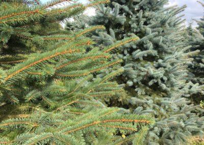 blue-spruce-colour-variation
