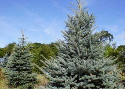 christmas-tree-blue-spruce