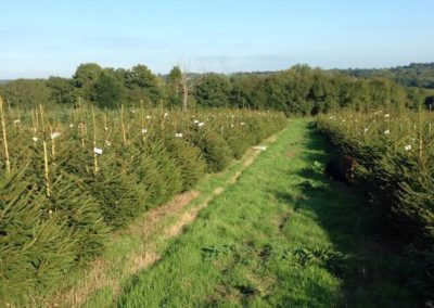 Tagged Spruces